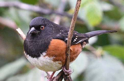 Do Towhees eat Mealworms