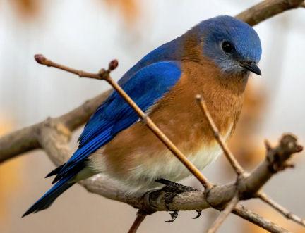Do Blue Birds eat Mealworms