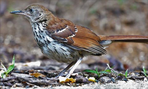 Do Brown Thrashers eat Mealworms