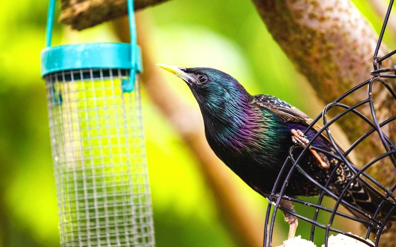bully bird starling at feeder