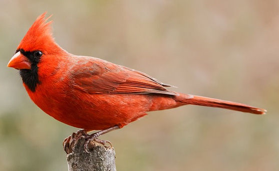 Do Cardinals eat mealworms
