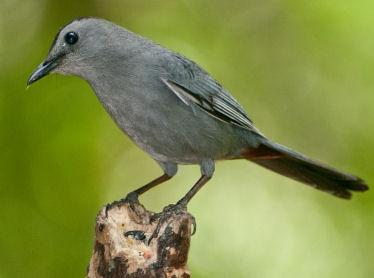 Do Catbirds eat mealworms