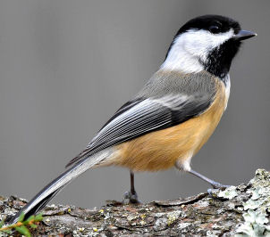 Do Chickadees eat Mealworms