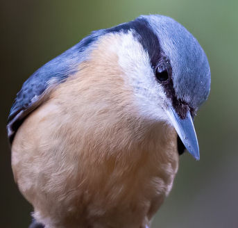 Do Nuthatches eat mealworms