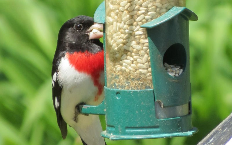 bird eating safflower seeds