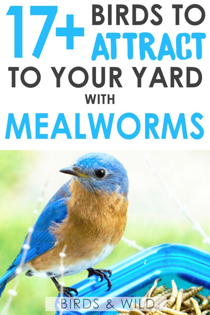 What birds eat mealworms?