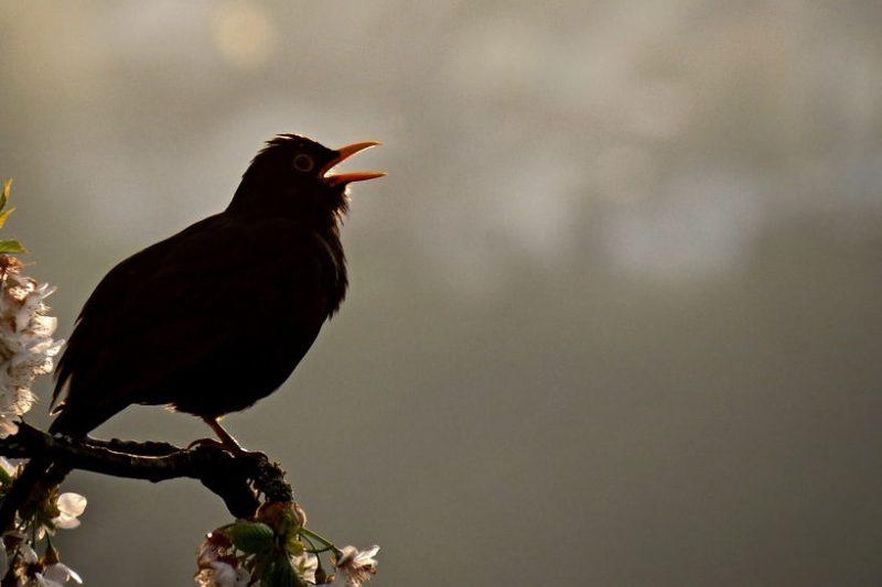 why do birds sing at night f