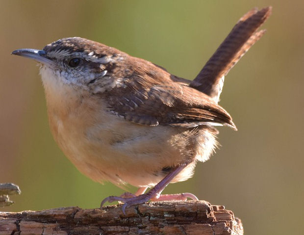 Do Wrens eat Mealworms