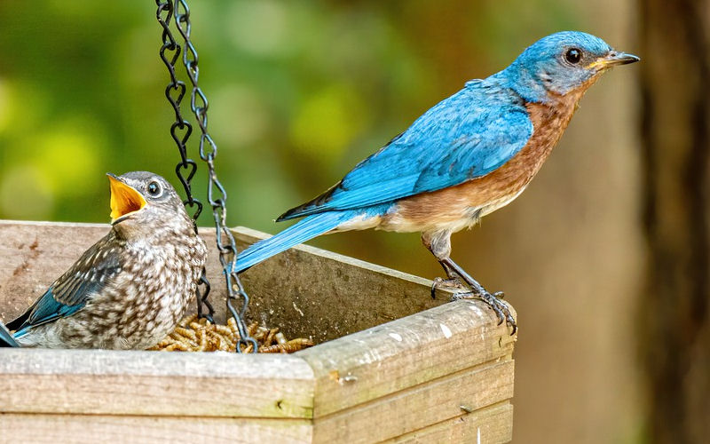 What Do Bluebird Look Like