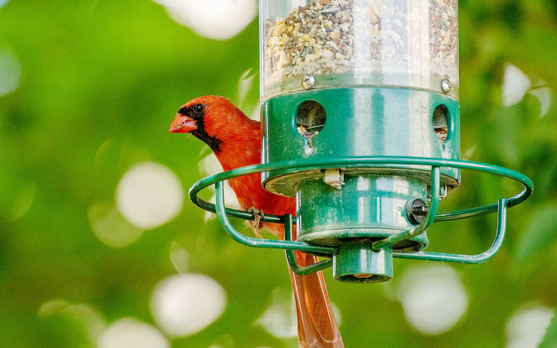 best bird feed for cardinals in your backyard