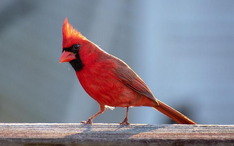 what do cardinal birds eat?