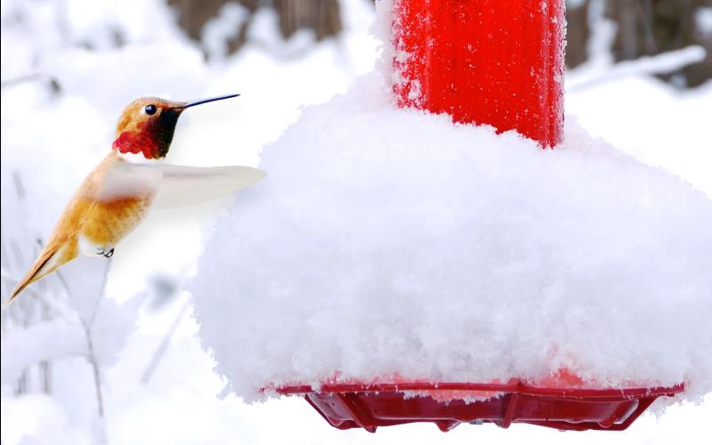 Tips for Feeding Hummingbirds in the Winter