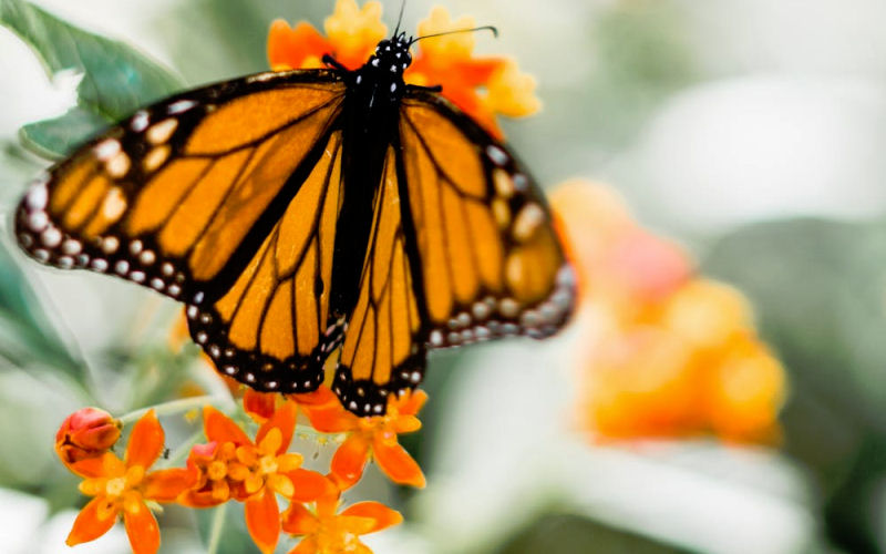 Are Butterflies Pollinators