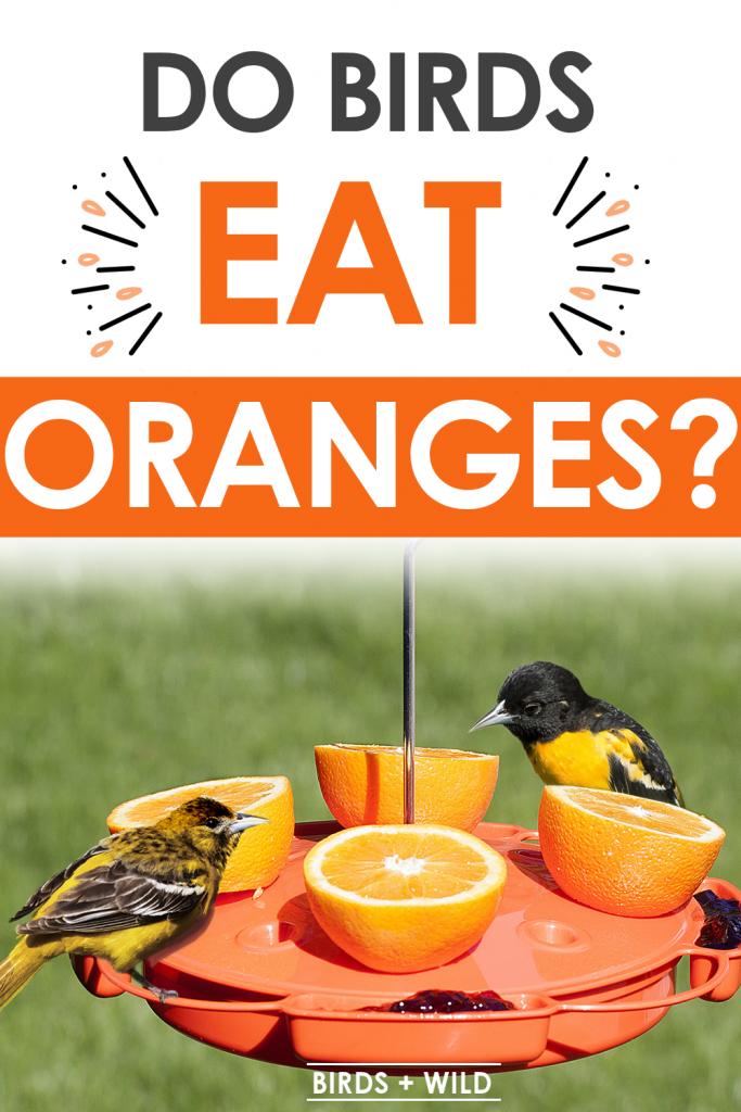 Can bird eat oranges?