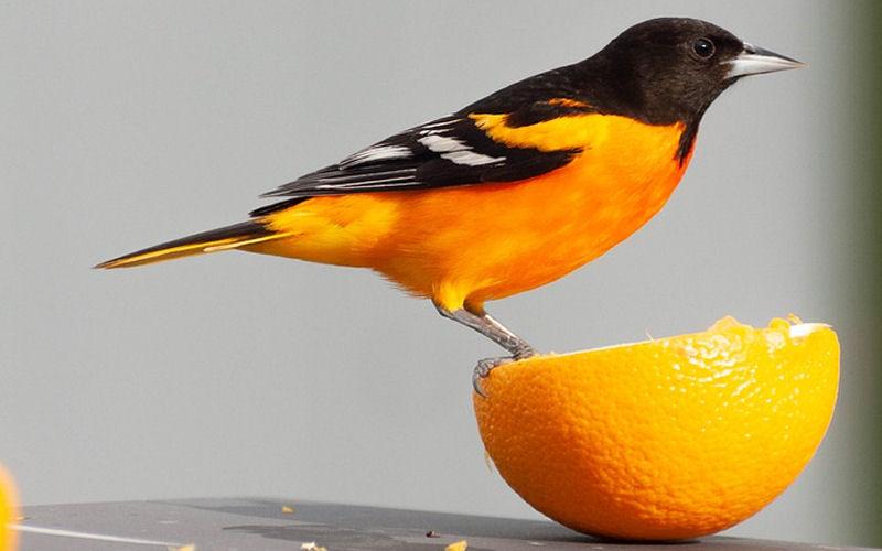 Do birds eat oranges