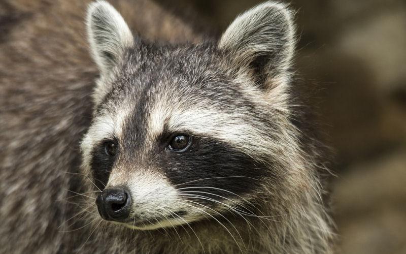 Raccoon poop in yard