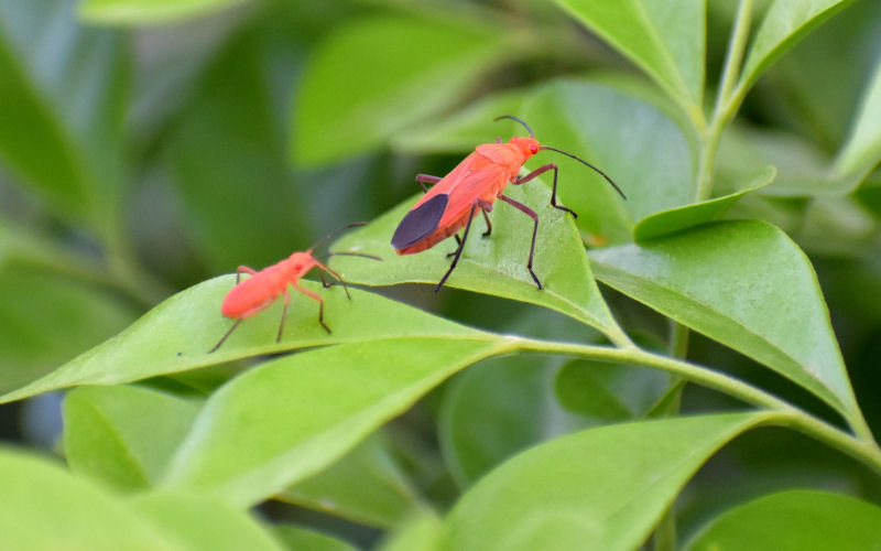 What Attracts Boxelder Bugs?