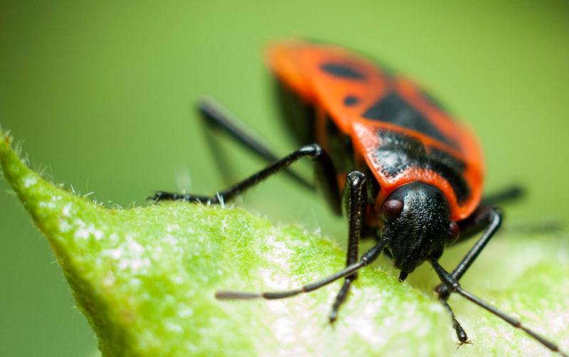 What do boxelder bugs eat