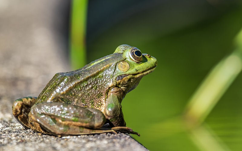 Do Frogs have Ears