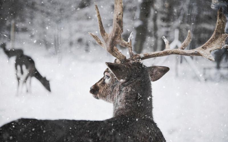 do deer hibernate
