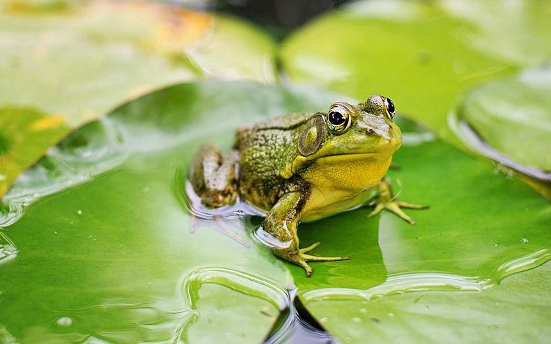 do frogs hibernate