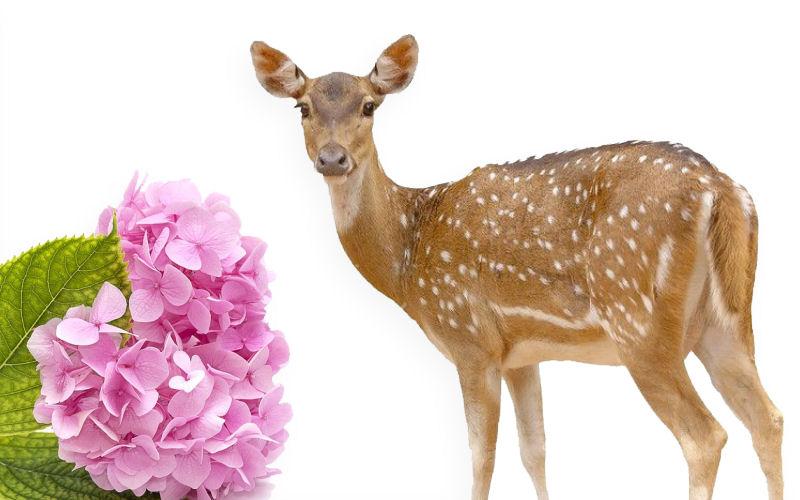 Do deer eat hydrangeas