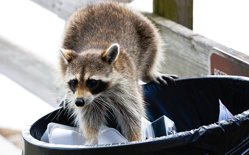 How To Keep Raccoons Out Of Trash