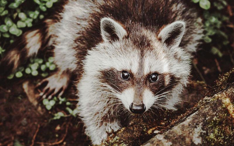 What Is The Best Raccoon Repellent