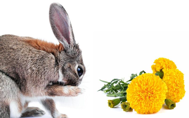 do rabbits eat marigolds