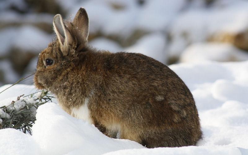 do rabbits hibernate in winter