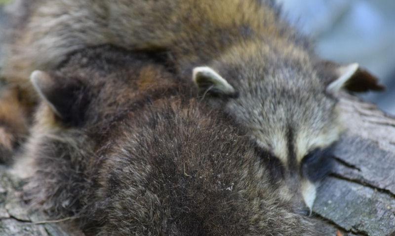 Do Raccoons Hibernate In The Winter