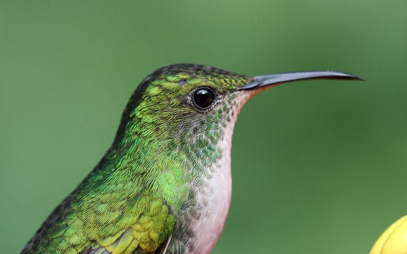 how long do hummingbird live