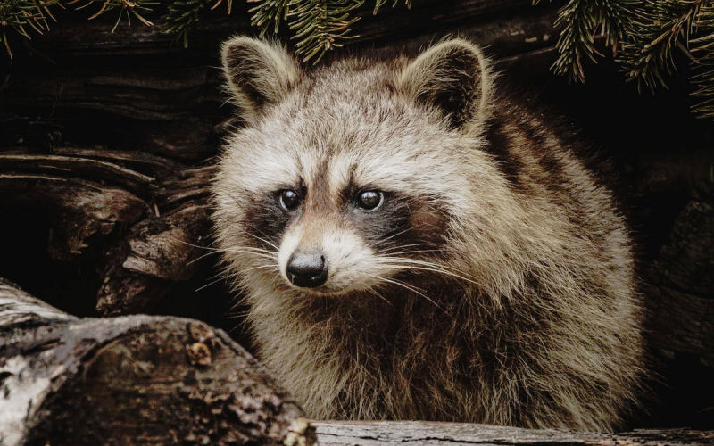 how long do raccoons live