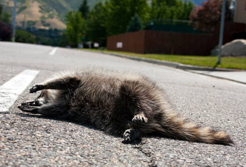 how long do raccoons live in the wild